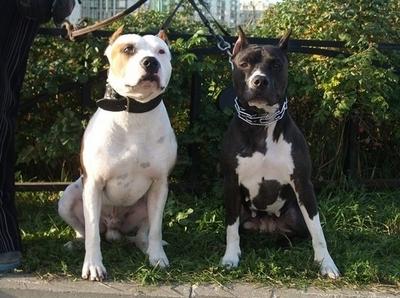 Владельцев бойцовских собак могут обязать покупать страховку