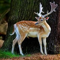 Росгосстрах обеспечит страховым покрытием пятнистых оленей